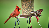 Northern Cardinal and House Finch. Image taken with a Nikon D5 camera and 600 mm f/4 VR telephoto lens (ISO 1600, 600 mm, f/5.6, 1/500 sec).