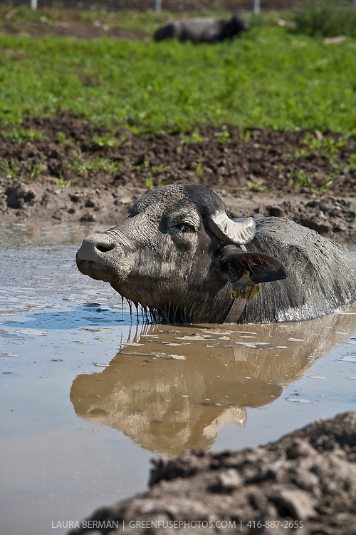 Water buffalo enjoying a dip in a stream on a hot summer day. Ontario Water Buffalo Company in Stirling Ontario.