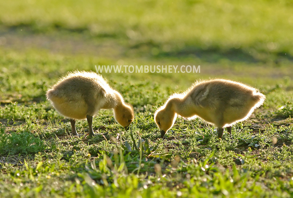 Middletown, N.Y. - Two goslings feed at Fancher-Davidge Park on May 20, 2006. ©Tom Bushey