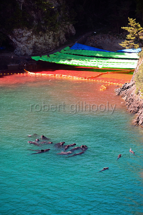 """A pod of what appear to be pilot whale dolphins swim in a sealed off area known as """"killer cove"""" just after the first dolphin cull of the season has taken place in Taiji,  a small fishing village in central western Japan on 10 September  2009. Floating upside-down at top right of the picture, where the rocky cliff meets the water and the yellow inflatable floats, is the discarded body of a baby bottle nose dolphin..Photographer: Robert Gilhooly"""