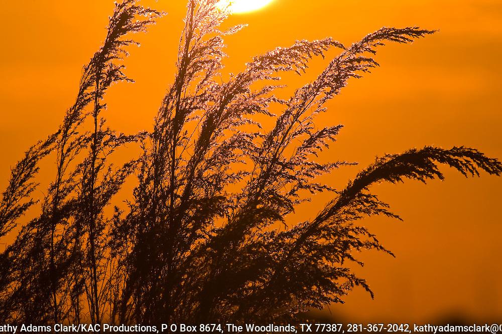 Sunset over the Katy Prairie, silhouetting goldenrod, West Harris County, near Houston, Texas,  tall grass prairie.