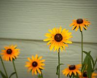 Black-eyed Susan. Image taken with a Nikon N1V3 camera and 70-300 mm VR lens