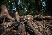 Spotted Salamander (Ambystoma maculatum)<br /> CAPTIVE<br /> The Orianne Indigo Snake Preserve<br /> Telfair County. Georgia<br /> USA<br /> HABITAT & RANGE: Hardwood &  mixed deciduous forests. Usually beneath ground level but pond nearby needed for laying eggs. Eastern United States.