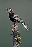 Chestnut-collared Longspur - Calcarius ornatus - Adult male breeding