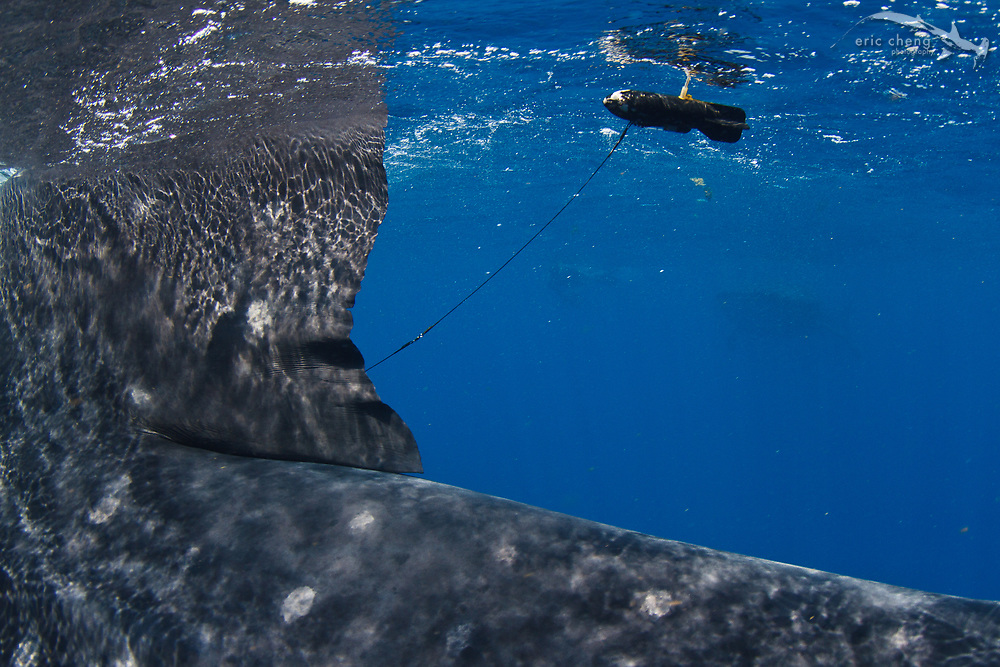A satellite tag on a whale shark (Rhincodon typus) at a feeding aggregation off of Isla Mujeres, Mexico