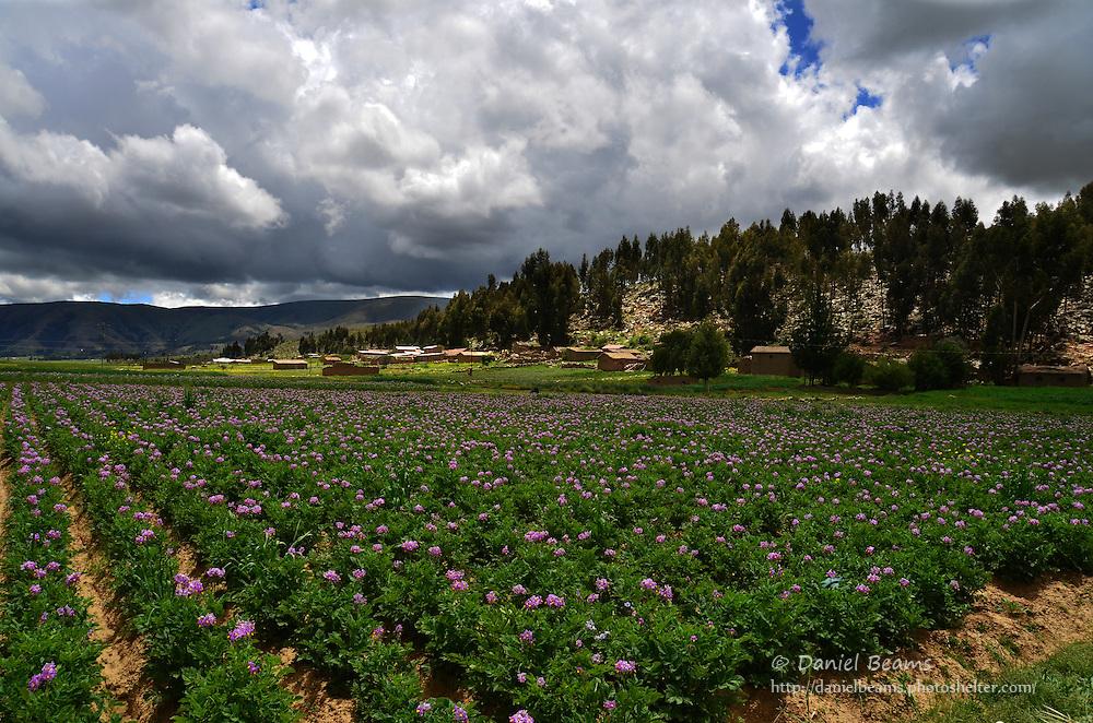 Potato field in Vacas, Cochabamba, Bolivia
