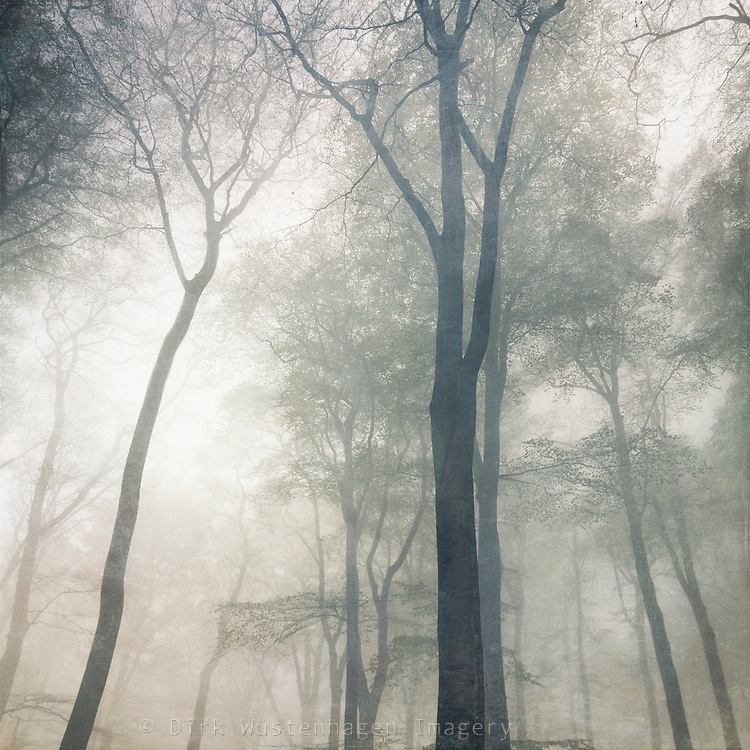 Low angle view wof beech trees shrouded in fog<br /> <br /> Prints &amp; more http://society6.com/DirkWuestenhagenImagery/Cathedral-AxO_Print