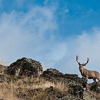 big mule deer buck in search of does blue sky with clouds rocky ridge