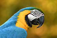 A close-up portrait of a blue-and-yellow macaw (Ara ararauna) in the Pantanal, Mato Grosso do Sul, Brazil