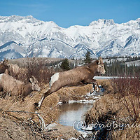 rocky mountian bighorn sheep, ewe jumps creek rocky mountains background