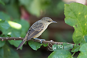 A Pitcairn reed warbler perches on a branch in the forest on Pitcairn island.
