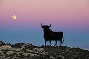 Osborne's Bull at sunset