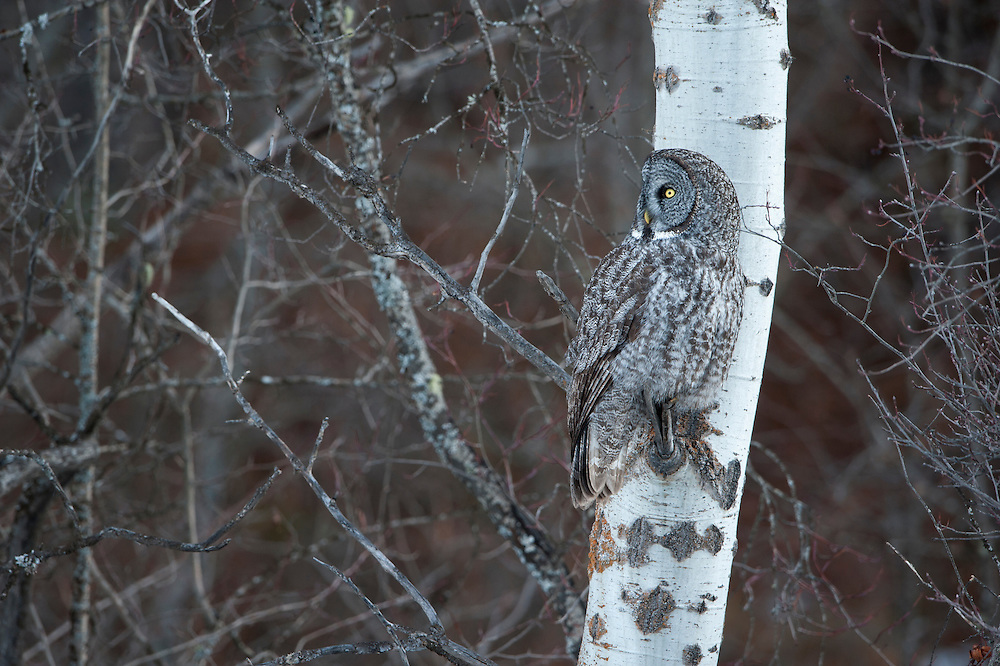A great gray owl (Strix nebulosa) perched on an aspen tree, Missoula, Montana