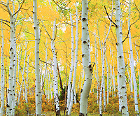 I love the starkness of this picture I got of aspen tree trunks in fall in the Rocky Mountains.  The white tree trunks contrasts nicely against the bright yellow leaves producing a great photo.