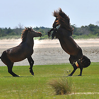 062310:Beaufort NC: Shackleford Horses: Two stallions battle for control of the herd. photo by tory Germann
