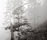 BW01894-00...WASHINGTON - Trees in fog at 4th Beach in the Olympic National Park. This is an Ilford Delta 100 4x5 film image.