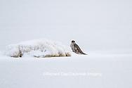 00817-00609 Gyrfalcon (Falco rusticolus) dark phase Churchill Wildlife Management Area Churchill MB