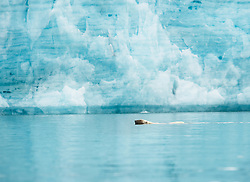 Polar bear (Ursus maritimus) in front of glacier in Hornsund, Svalbard