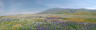 Spring Wildflowers Panoramic Landscape, Kern County, California
