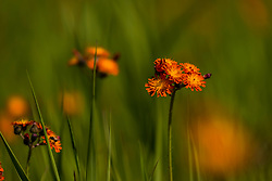 Orange hawkweed in Northern Wisconsin.