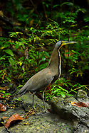 A Bare-throated Tiger-Heron (Tigrisoma mexicanum) near Punta Rio Claro National Wildlife Refuge, Costa Rica.