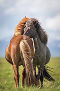 Yin and Yang was my first thought when I saw these two Icelandic horses standing side by side, filling eachother perfectly in terms of shape, colours and harmony   Yin og Yang, hentet fra det Kinesiske språket, var min første tanke da jeg så disse to islandshestene stå side om side og utfylle hverandre perfekt i form, farge og harmoni.