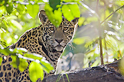 Jaguar<br /> Panthera onca<br /> One year old cub (s)<br /> Cuiaba River, Brazil