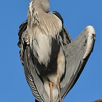 Grey Heron Sunning