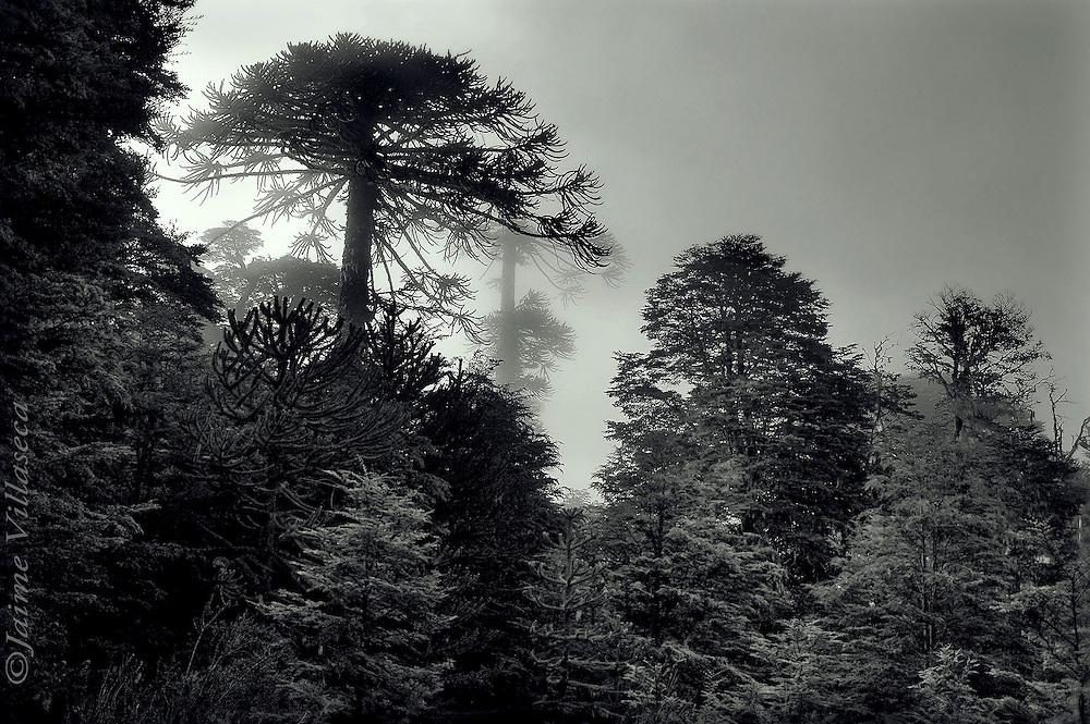 FOT&Oacute;GRAFO: Jaime Villaseca ///<br /> <br /> Araucarias en Cordillera de Nahuelbuta.