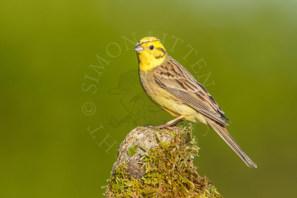 Yellowhammer (Emberiza citrinella) adult perched on moss cover rock, Norfolk, UK.