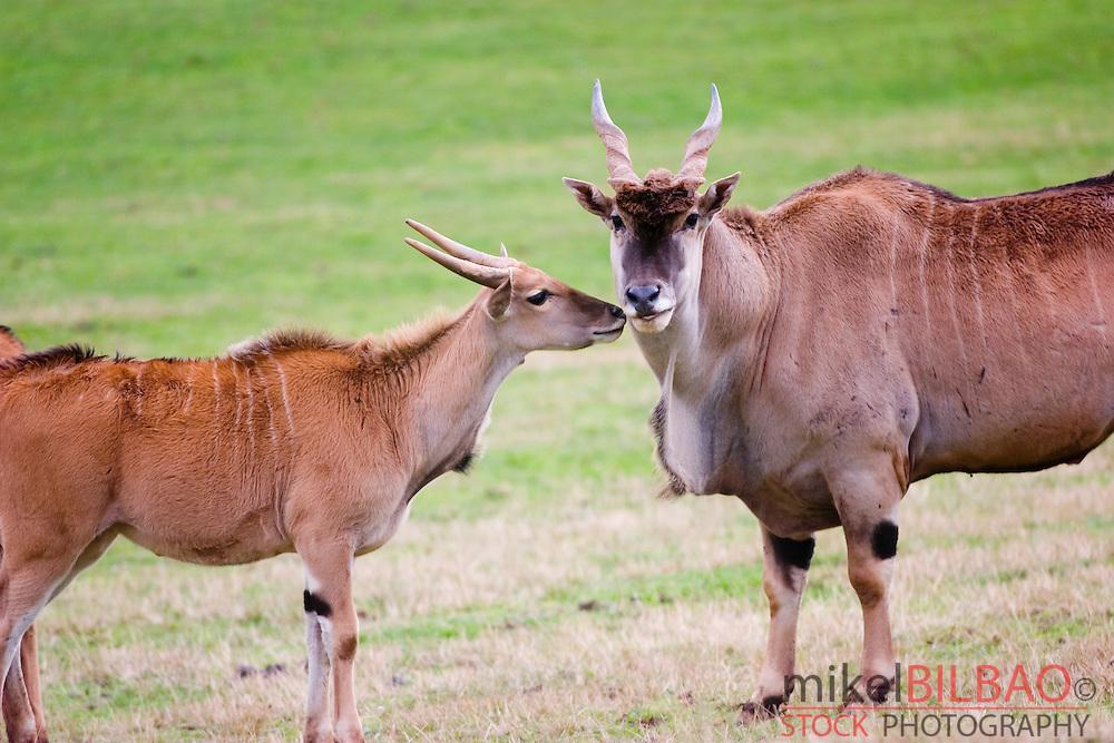 Common Eland, Southern Eland or Eland antelope (Taurotragus oryx)