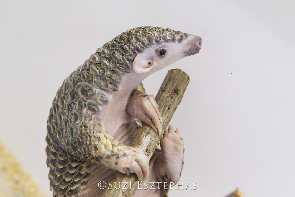 Chinese pangolin <br /> Manis pentadactyla<br /> Three-month-old orphaned baby (named Gung-wu). Gung-wu is the offspring of parents rescued from poachers.  <br /> Taipei Zoo, Taipei, Taiwan
