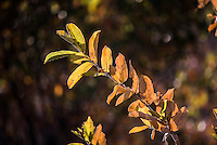 Combretum leaves in winter, Kruger National Park, Limpopo, South Africa