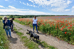 © Licensed to London News Pictures. 11/06/2017. London Colney, UK. Dog walkers pass the poppies and other wildflowers which are in bloom in a field in London Colney, near St Albans.  Lying near the busy M25 motorway that encircles the capital, the flowers are putting on a spectacular show as the traffic passes by. Photo credit : Stephen Chung/LNP