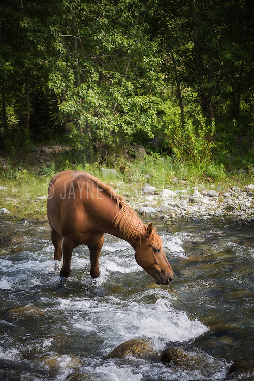 A chestnut horse cooling off in a mountain stream on a hot summer's day.