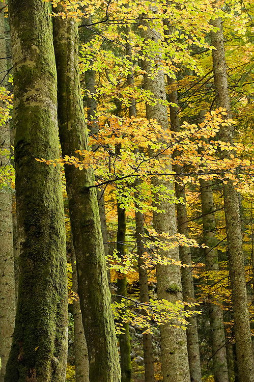 Autumn in Corkova Uvala, the virgin mixed forest, silver firs (Abies alba), beech (Fagus sylvatica), spruce (Picea excelsa), Plitvice National Park, Croatia