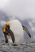 King Penguin in South Georgia is stretching and twisting it body to scratch the top of its head with it foot while balancing on one foot showing amazing balance and flexibility. This photo is from a series of photos showing a King penguin in several different poses showing preening stretching and twisting poses.