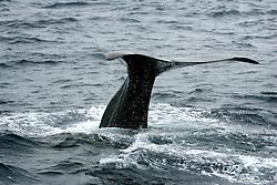 SOUTHERN OCEAN ESPERANZA 11JAN08 - Sperm whale shows its tail fluke as it dives in the Southern Ocean Whale Sanctuary...jre/Photo by Jiri Rezac..© Jiri Rezac 2008..Contact: +44 (0) 7050 110 417.Mobile:  +44 (0) 7801 337 683.Office:  +44 (0) 20 8968 9635..Email:   jiri@jirirezac.com.Web:    www.jirirezac.com..© All images Jiri Rezac 2008 - All rights reserved.