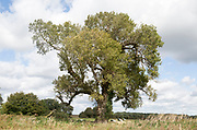 Black poplar tree, Populus nigra, Butley, Suffolk, England, UK