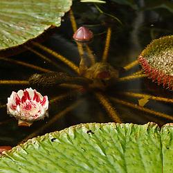 Reuzenwaterlelie, Victoria amazonica