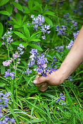 Deadheading invasive Spanish bluebells before they seed everywhere.  Hyacinthoides hispanica