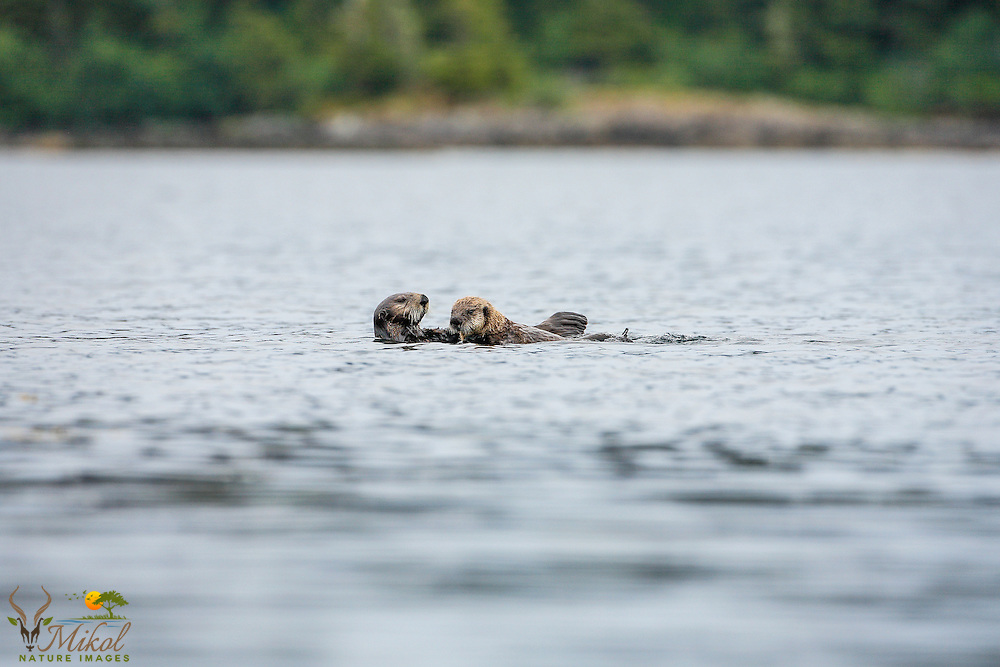 Sea otter mother and pup with shore in background