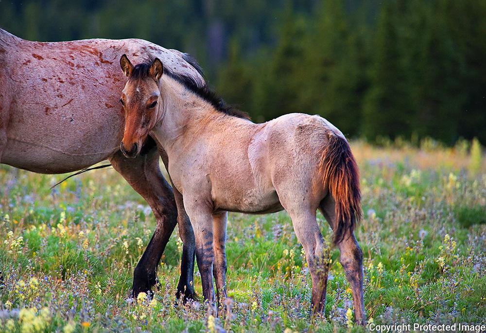 Pryor Mountain Foal, Montana