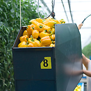 September 2009 20090901 ..Een arbeider immigrant leegt een volle container paprika's in transport kisten.  .An immigrant worker at work in greenhouse, immigration.     .                          .Foto: David Rozing