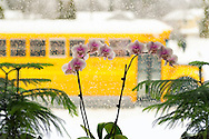 School Bus driving past window with orchids and evergreen tree plants in it on snowy morning, February 5, 2014, Merrick, New York, USA