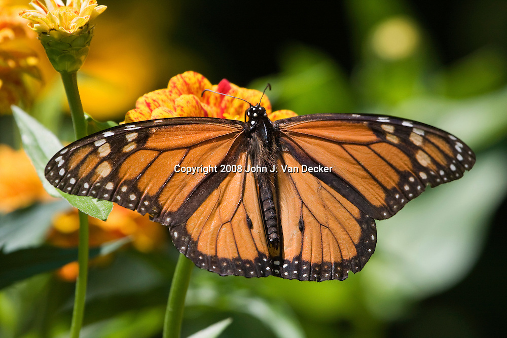 Monarch Butterfly, Danaus plexippus, on yellow zenia. ....A male Monarch butterfly as evidenced by the black spot on a vein of the mid-hindwing