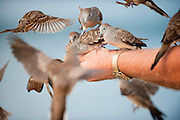 Birds climb on a mans hands to get food.