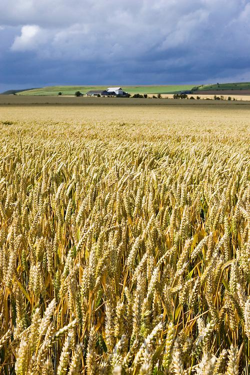 Wheat field in Marlborough Downs, Wiltshire, England, United Kingdom