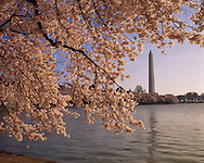 Cherry Blossoms, Tidal Basin, Washington Monument, West Potomac Park, Washington D.C., District of Columbia