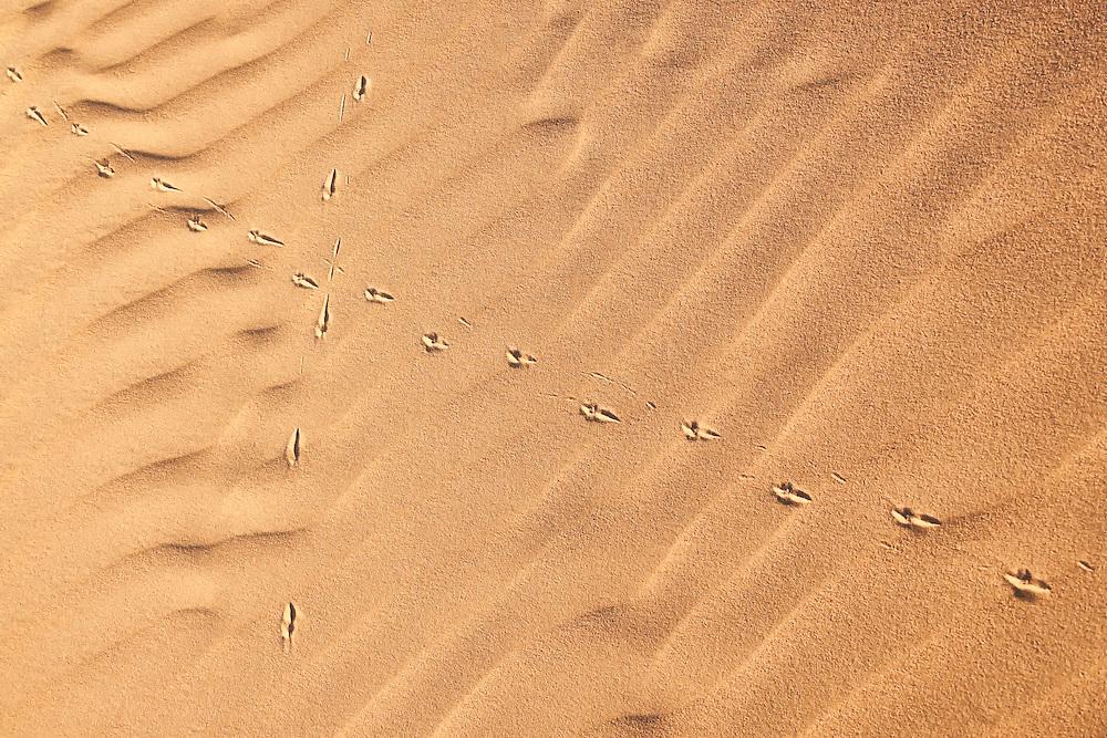 Bird (hoopoe lark) tracks in desert sand, in the Sahara desert of Morocco.